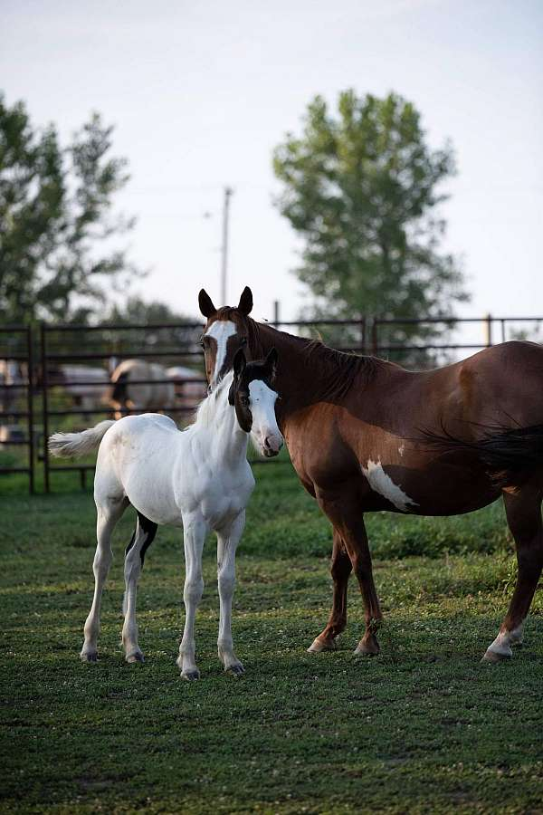 draft-horse-for-sale