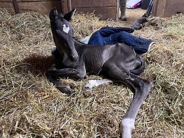 in-utero-westphalian-horse