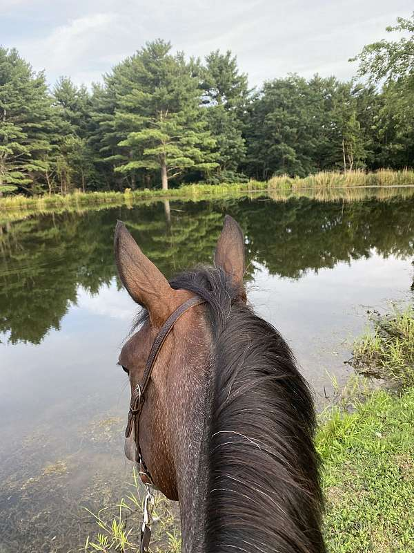 bay-roan-aws-mare