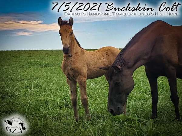 foundation-tennessee-walking-horse