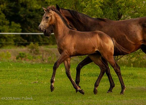 stakes-producer-appendix-horse