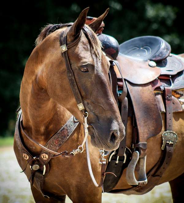 athletic-rocky-mountain-horse