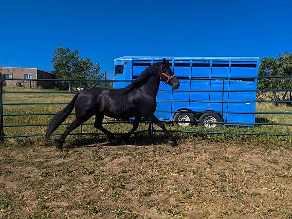 gentle-for-the-family-friesian-horse