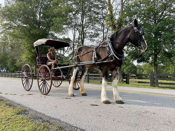 companion-clydesdale-horse