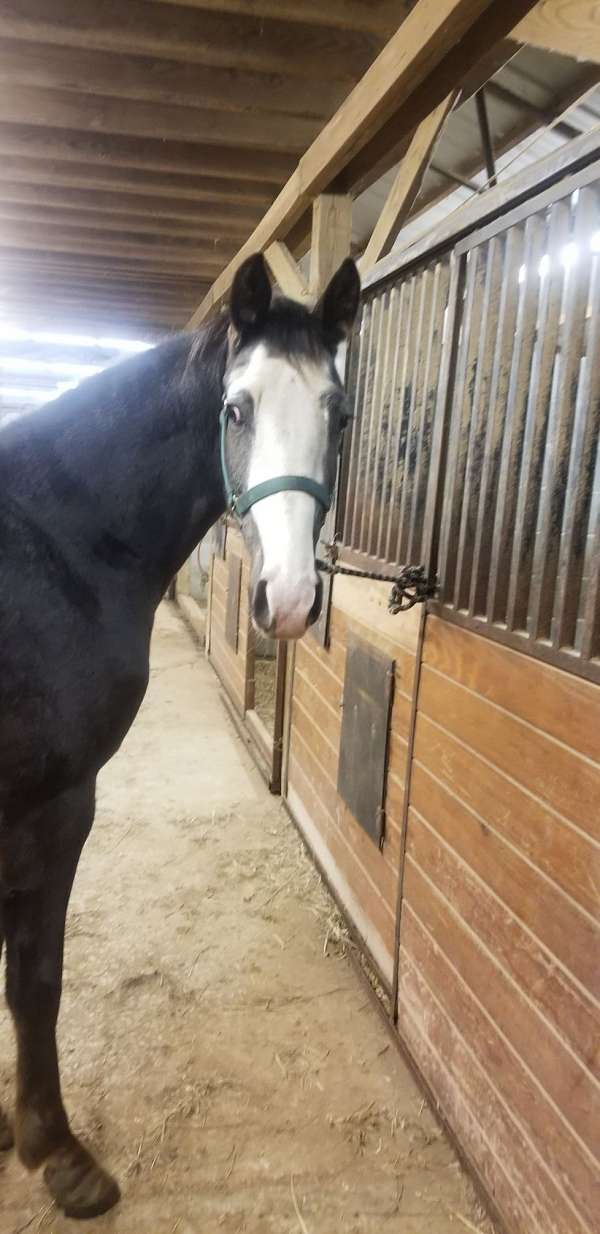 tennessee-walking-horse-for-sale