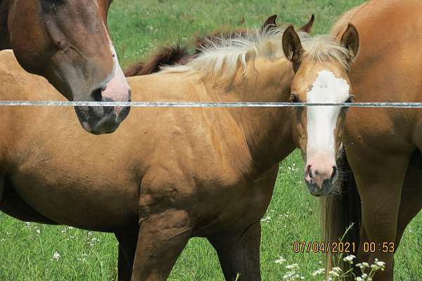 colonel-freckles-palomino-horse