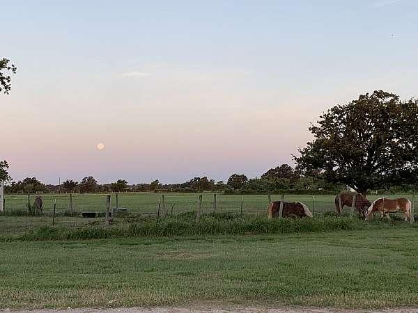 quarter-horse-equine-service-in-stephenville-tx
