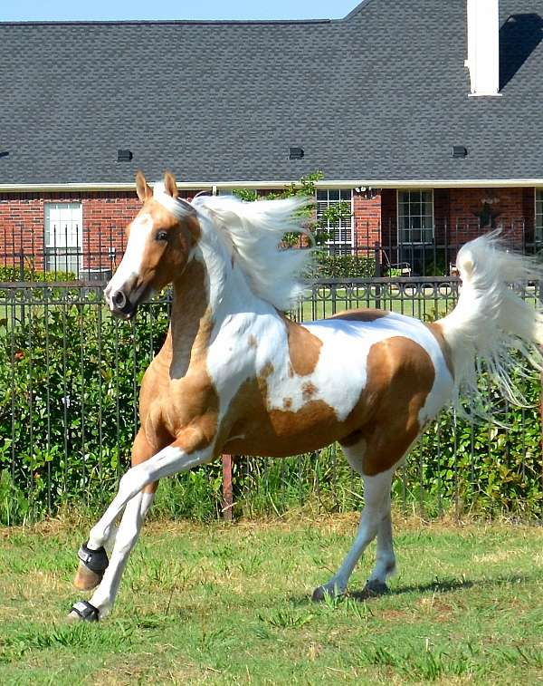 Mrf Sunsation- Gorgeous Palomino Homozygous Pinto Asha ...