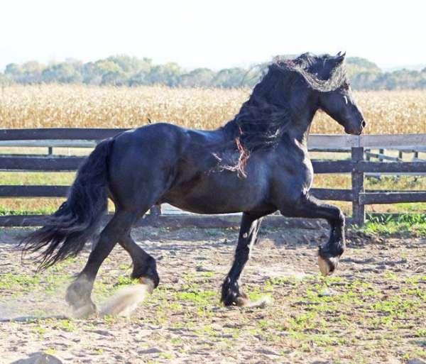 black-show-winner-horse