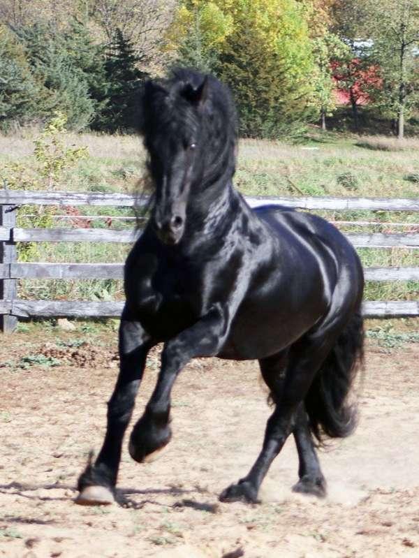 homozygous-black-stallion