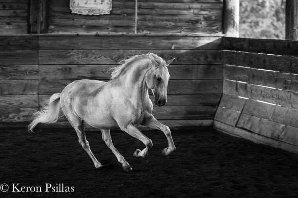 stallion-semen-lusitano-horse