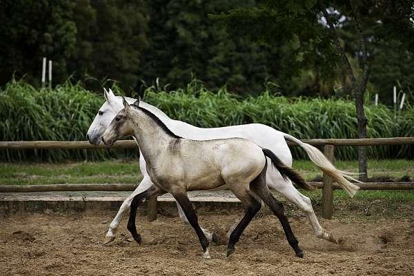semen-lusitano-horse