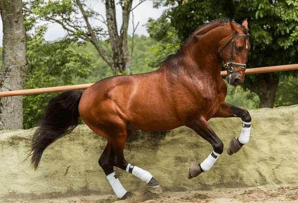 roman-nose-lusitano-horse