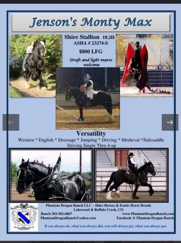 dressage-shire-horse