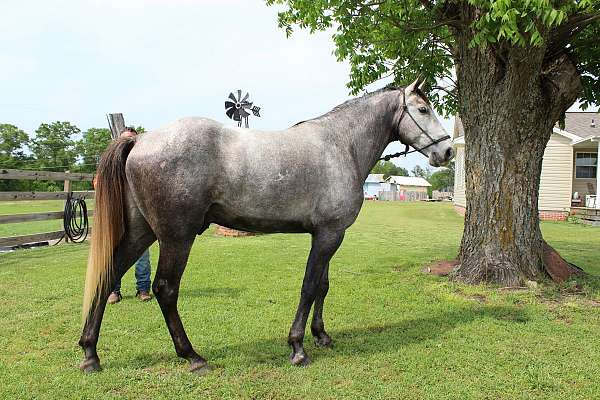 recreational-missouri-fox-trotter-horse