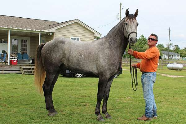 standing-at-stud-missouri-fox-trotter-horse