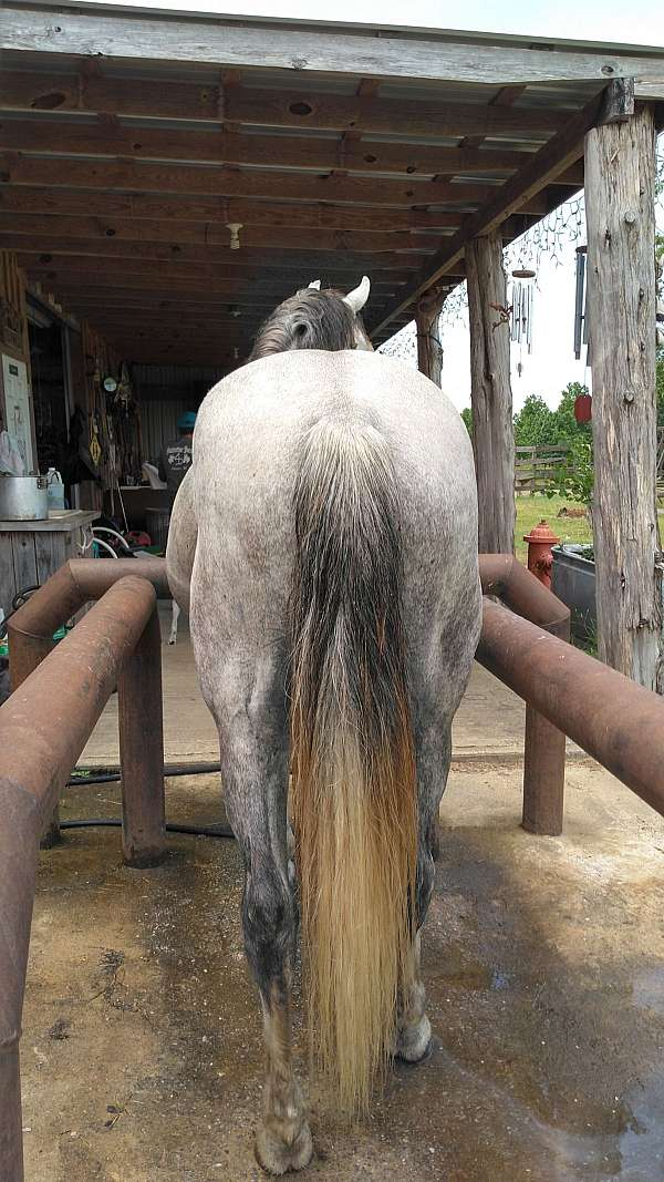 luke-missouri-fox-trotter-horse