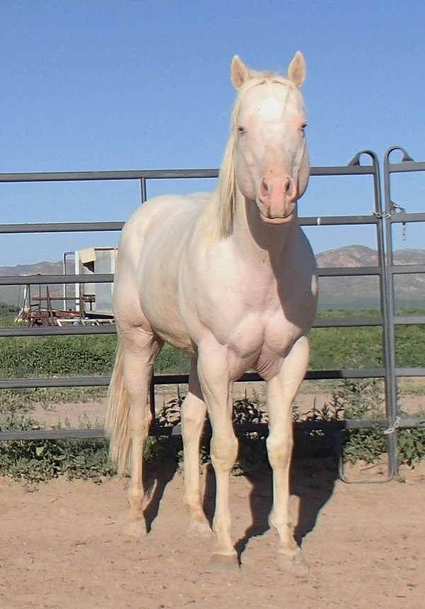 double-dilute-quarter-horse