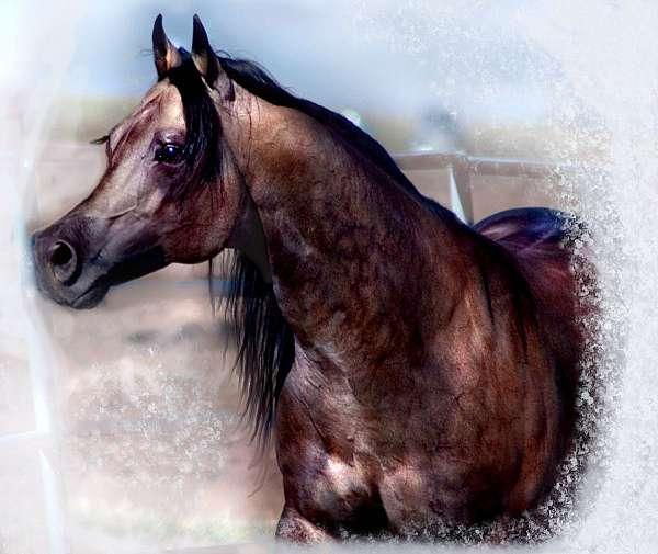 roan-stud-quarter-horse