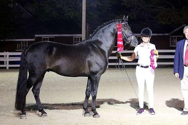 sporthorse-in-hand-morgan-horse