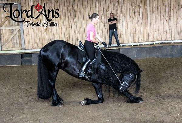 double-registered-friesian-horse