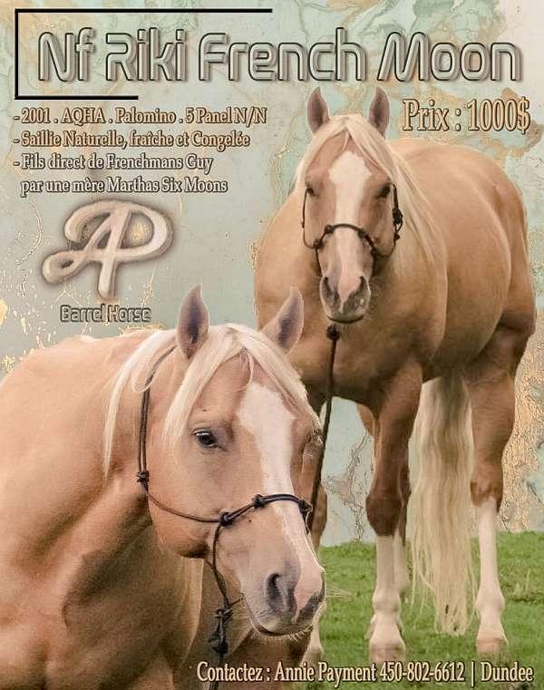 palomino-quarter-horse-stallion
