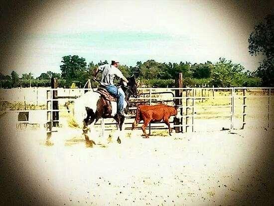 fox-hunter-gypsy-vanner-horse
