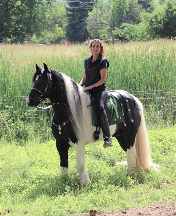 steer-roping-gypsy-vanner-horse