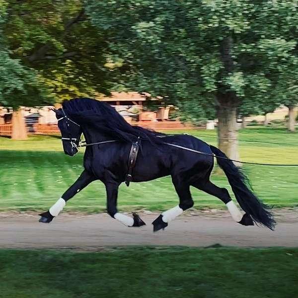 team-driving-friesian-horse