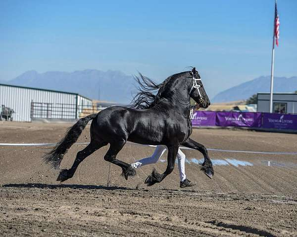 sport-horse-friesian