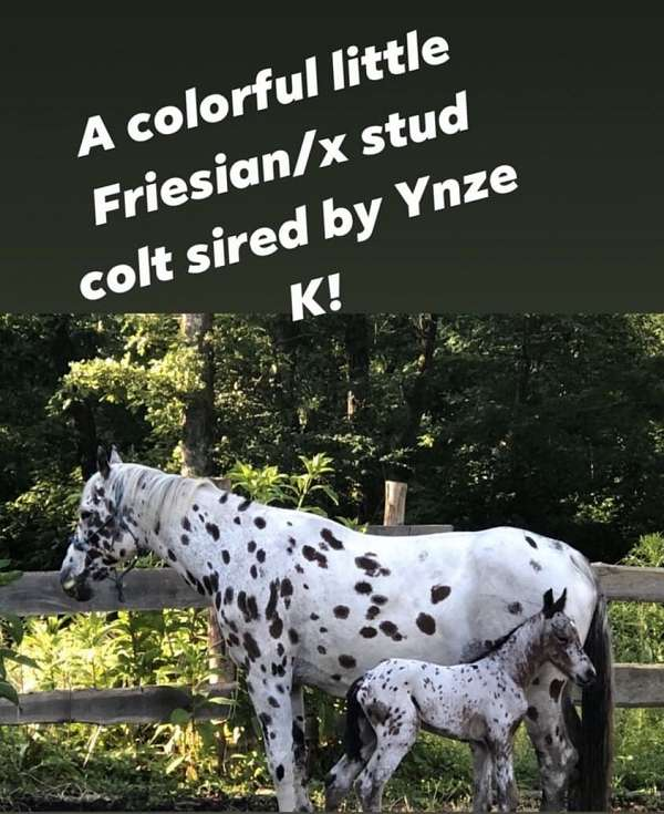 gentle-friesian-horse