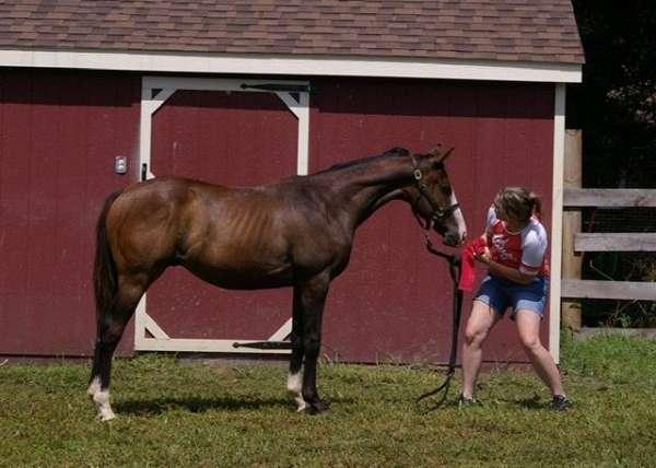 bay-overo-blaze-horse