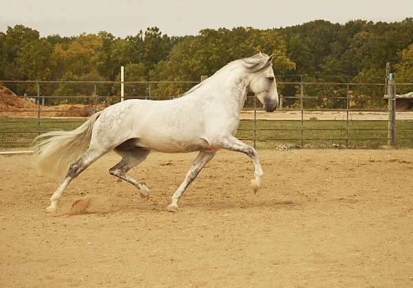 grey-star-2-socks-horse