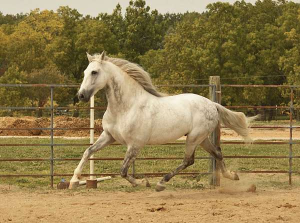started-under-saddle-andalusian-horse