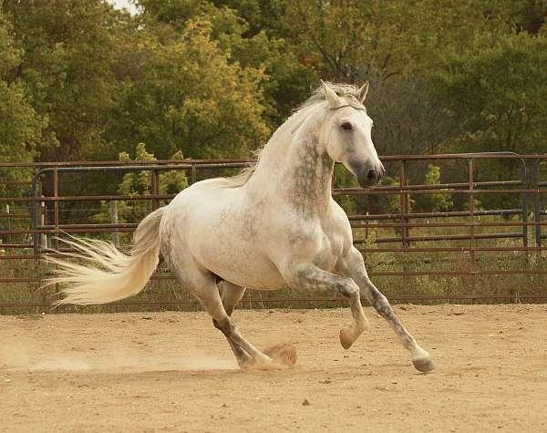 dappled-grey-andalusian-horse