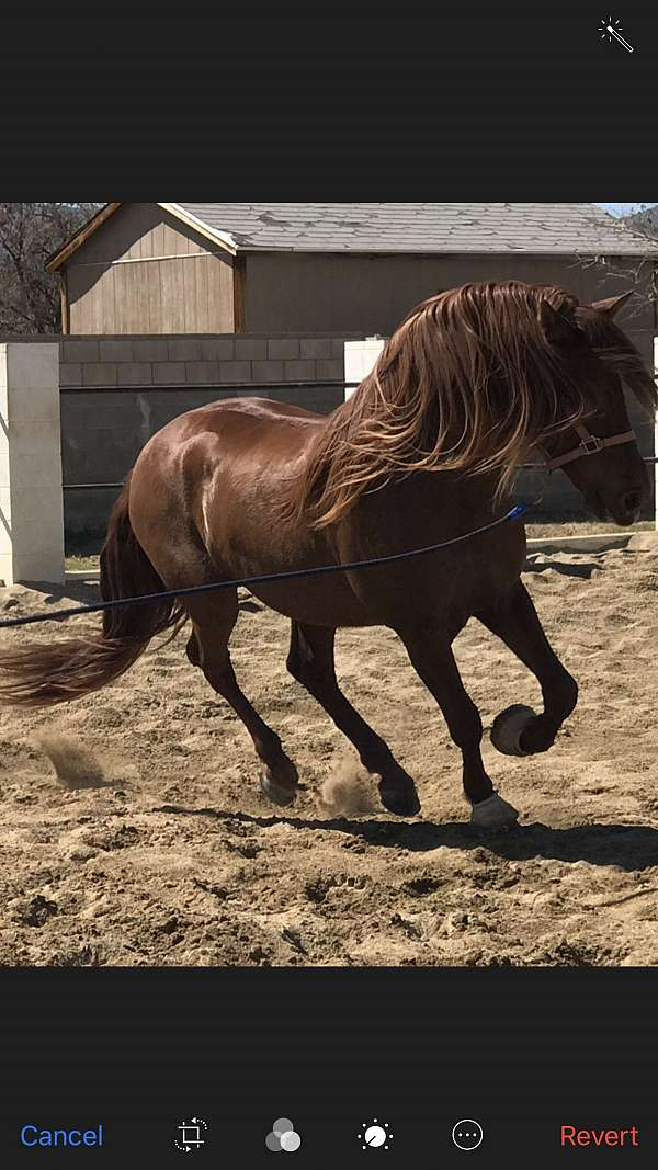 chestnut-stud-andalusian-horse