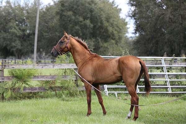 dressage-akhal-teke-horse
