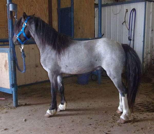 blue-roan-socks-horse