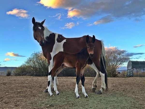 blue-roan-donkey-stallion