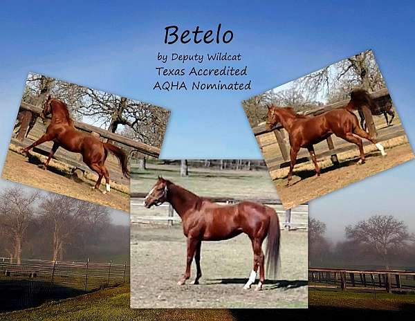 chestnut-stallion-for-sale