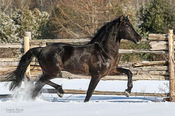 canadian-horse