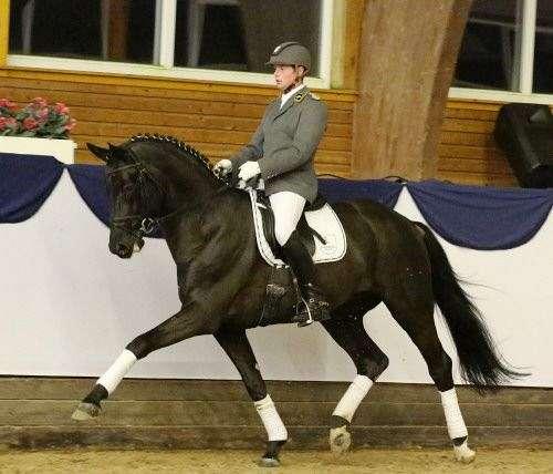 english-hanoverian-horse
