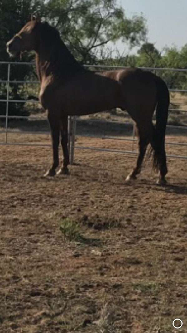 tennessee-walking-stallion