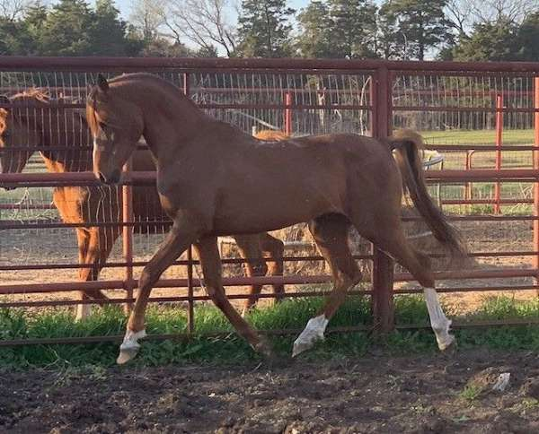 chestnut-arabian-stallion