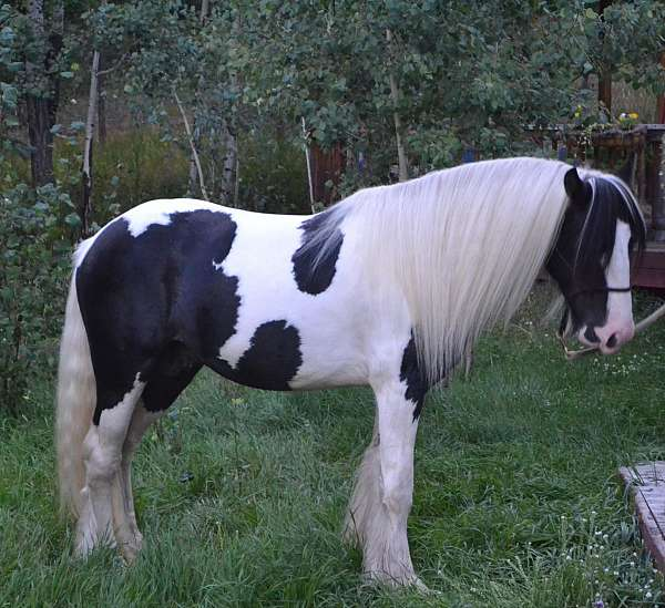 male-gypsy-vanner-horse