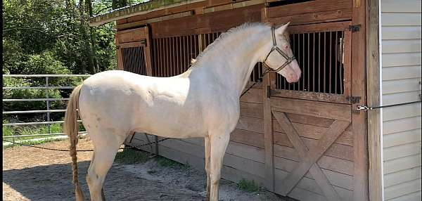 andalusian-stallion