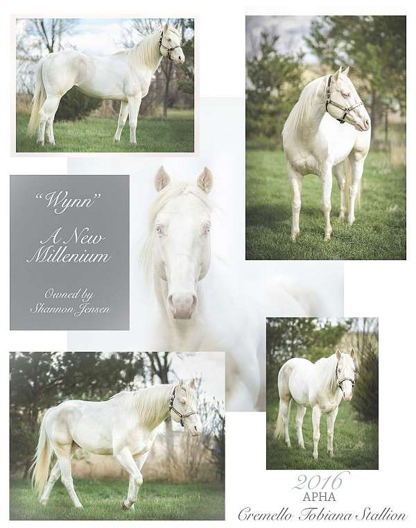color-producer-tobiano-paint-palomino-horse