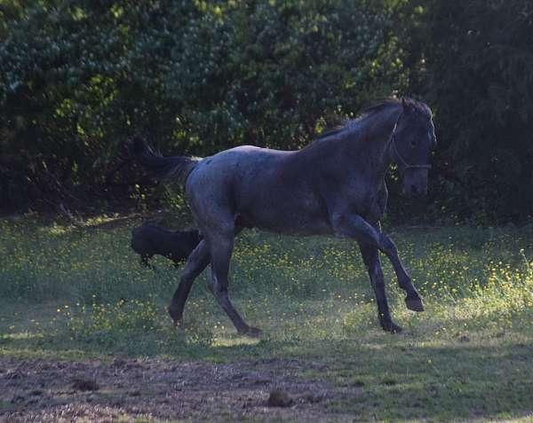 black-roan-barrel-horse