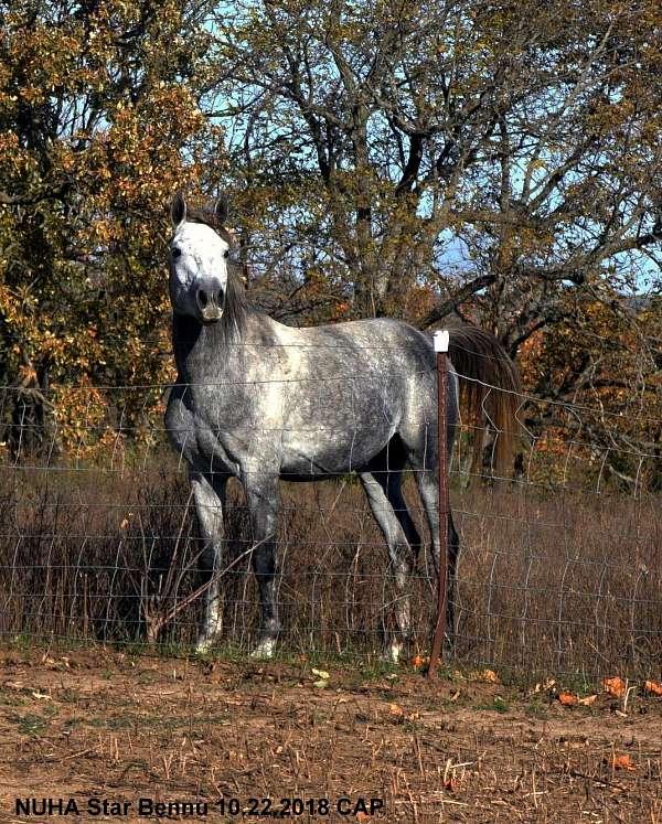grey-hunter-horse