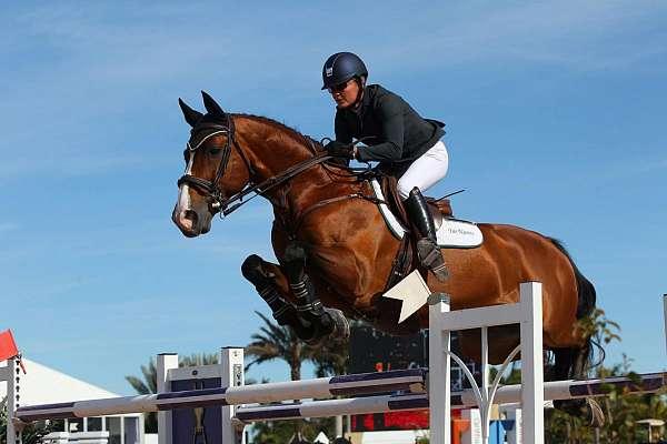 popular-jumper-stallion-dutch-warmblood-horse